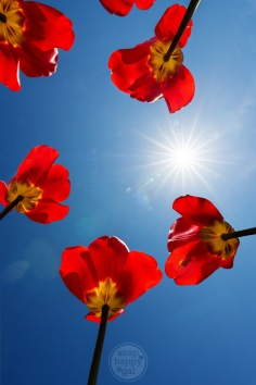 Red tulips shot from below with a blue sky and a white sunburst star