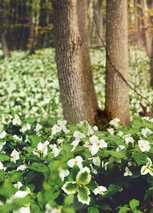 Selective focus on some trillium amid a forest of the blossoms