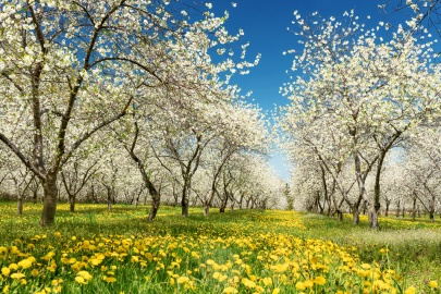 Cherry orchard blossoms and dandelions under a blue sky near Traverse City, Michigan