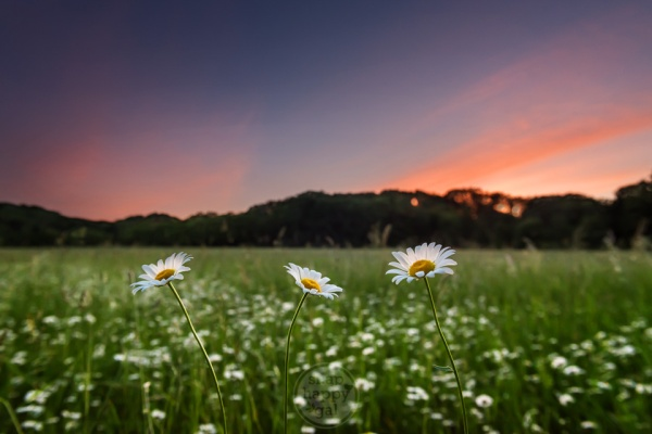 A trio of daisies stands above a field of daisies under moody sunset skies