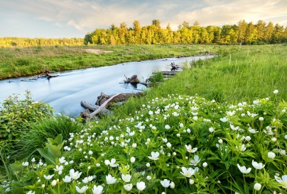 Spring wildflowers and a golden sunset adorn the Boardman River, south of Traverse City Michigan