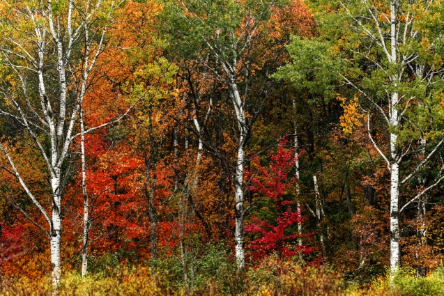 Part of the birch collection. Birches amid fall colors.