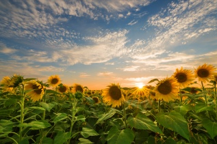 Happy sunshine falls on a field of sunflowers